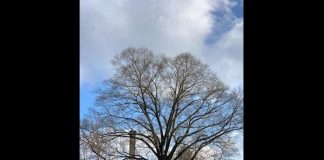 The Lakewood Township Committee designated a red oak tree at the Ella G. Clarke School, Manetta Avenue, Lakewood, a historical landmark. (Photo courtesy Lakewood Township)