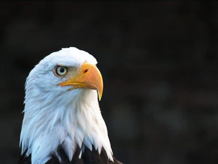 Bald Eagle. (File photo)