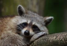 A raccoon. (File photo)