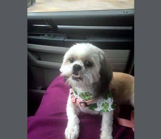 Khloe, a 5-year old Shih Tzu, is recovering after an attack with the love and support of her family. (Photo courtesy Cristy Mangano)