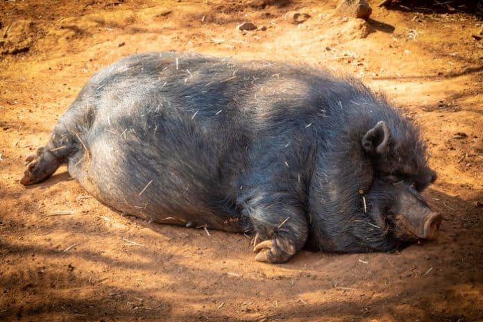 Pig. (File photo)